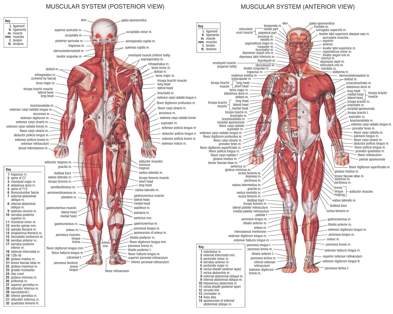 human muscle anatomy – how many muscles do you know of, Cephalic Vein