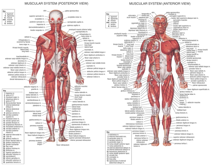 human muscle anatomy – how many muscles do you know of, Human body